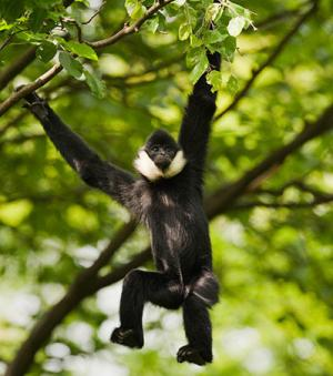 Environ 500 de ces singes ont �t� observ�s (Cr�dit photo : Conservation International)